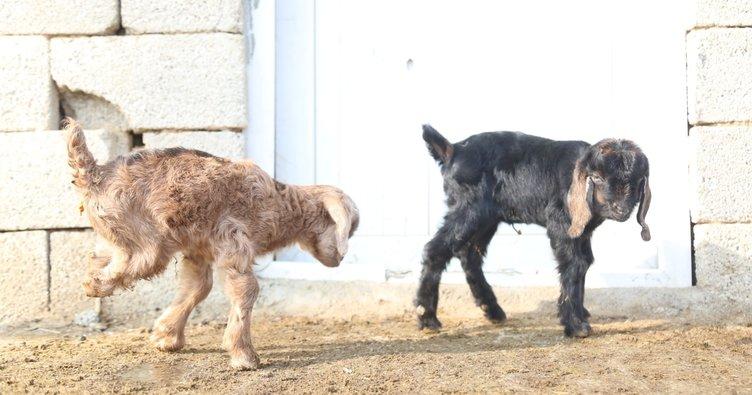 Yeni doğan keçiyi görenler şaştı kaldı