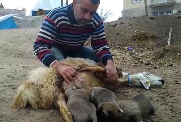 Annesiz kalan kangalları, koyun besliyor