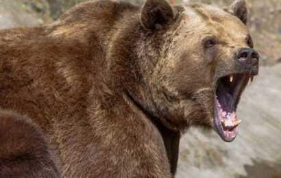 Hayvan otlatırken ayı saldırdı!