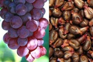 FIZIČKO-HEMIJSKA SVOJSTVA SEMENKI GROŽĐA (Vitis vinifera), SA PRIKAZANIM DEJSTVOM KOJE IMA NA KOŽU, KROZ UPOTREBU ULJA OD SEMENKI GROŽĐA