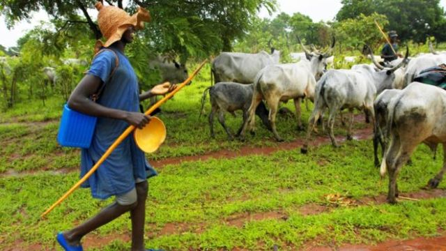 Bayelsa govt impounds 34 cows for allegedly violating anti-open grazing law