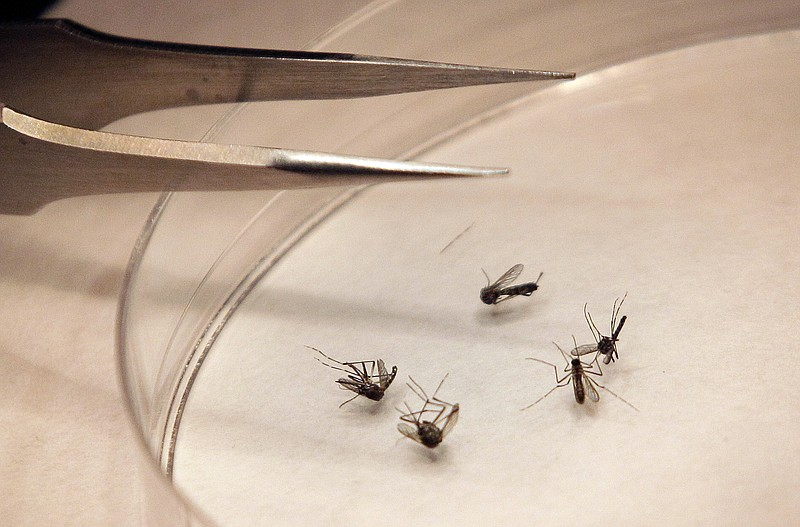 Mosquitos is sorted by County Dallas mosquito lab in Dallas, August 16, 20 ...