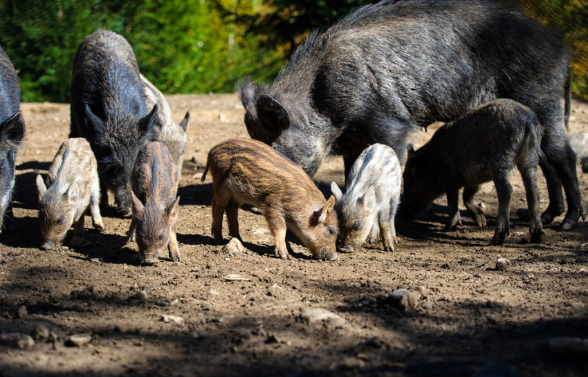 Feral hogs have become a real problem in Texas