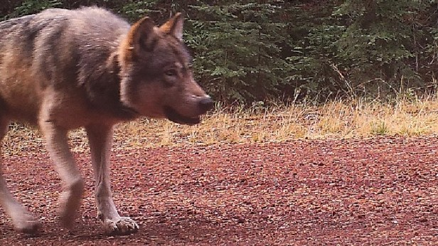 Wolf OR7 on Oct. 23, 2016. Image taken by ODFW remote camera on public land in western Klamath County.