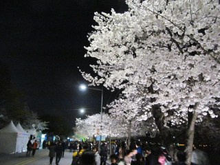 Cherry Blossom Festival at night with less tourists and more locals.