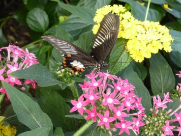 black, orange, white butterfly with pink & yellow flowers
