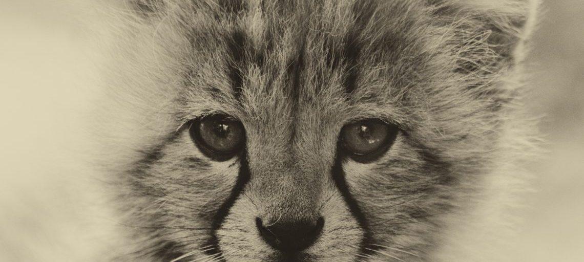 A baby tiger cub's face