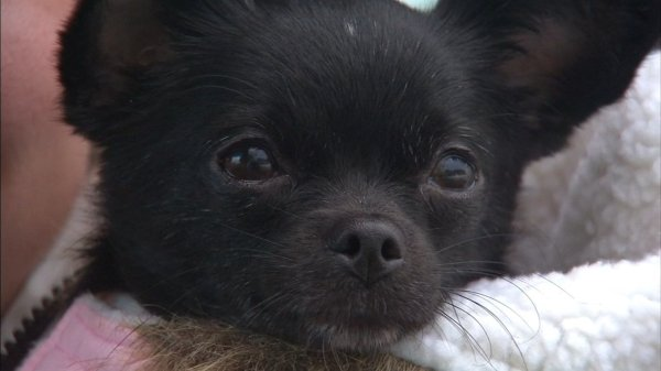 Tiny is back home: Chihuahua in stolen car returned to ...