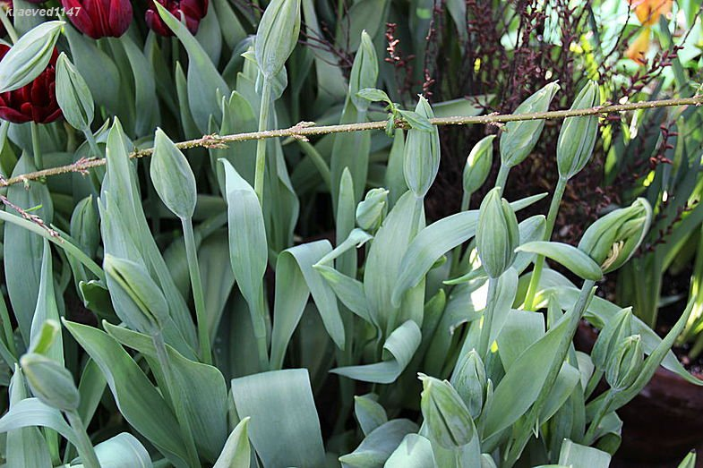 Тюльпан