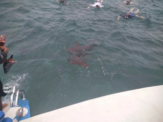 Feeding some sharks. NBD.