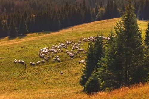 Krajobraz Owce Pieniny