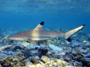 Black tip reef sharks are known to be quite timid. Image: David Burdick, NOAA (Flickr)