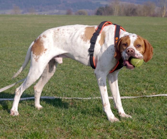 Carlitos, Pointer, mit Ball