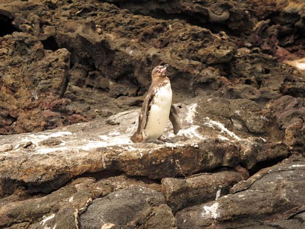 kolonie tučňáků galapážských jsou zejména mimo přístupné ostrovy..