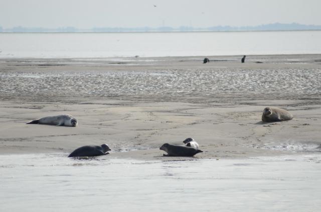 Tuleni nedaleko Den Helder.