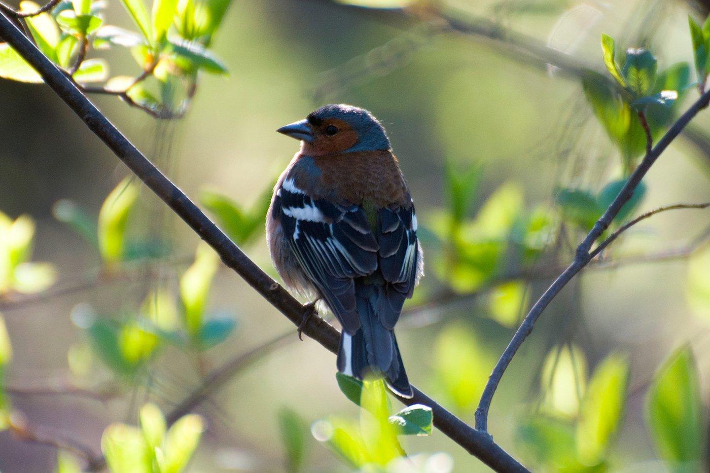 На горле, верхней части грудки и по бокам оперение птички. Зяблик птица самец и самка - 33 фото - картинки: смотреть