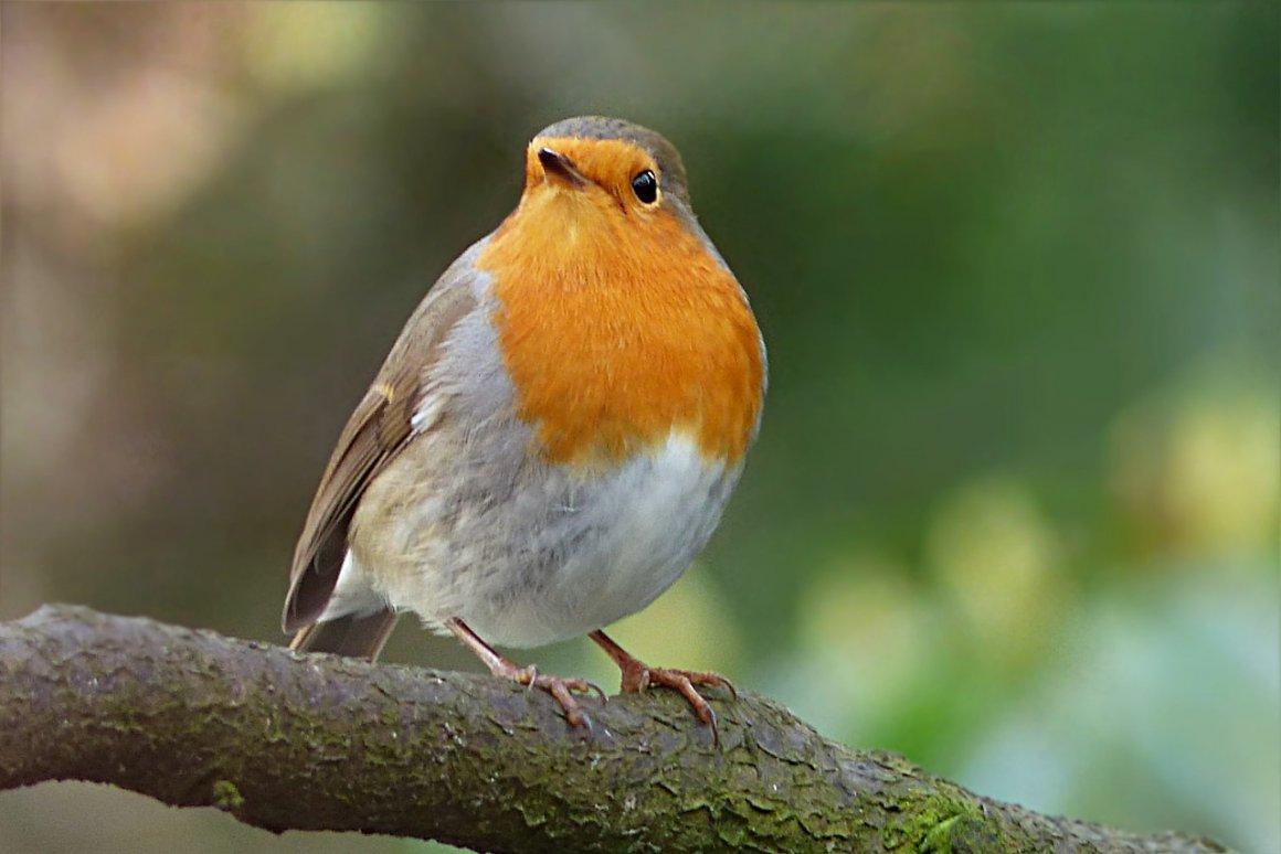 Зарянка фото маленькие симпатичные птички обитают во влажных смешанных или лиственных лесах. Птичка с коричневой грудкой - 61 фото - картинки: смотреть