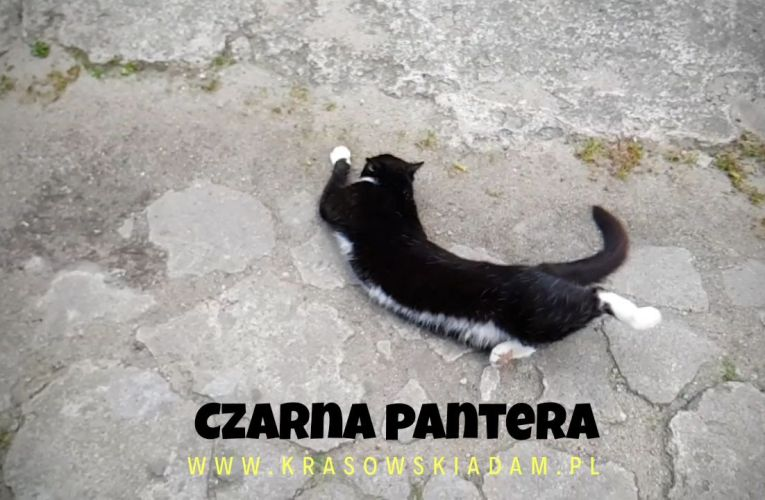 Czarna Pantera w akcji