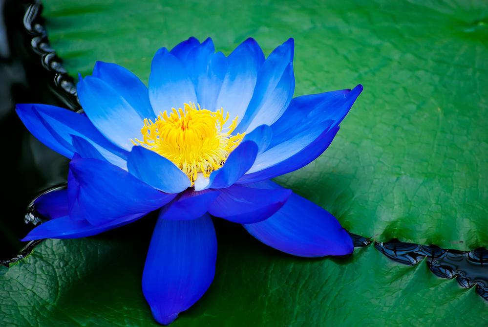 Raw Dried Sacred Egyptian Blue Lotus Flowers/Petals Nymphaea caerulea -  Kratom of Life