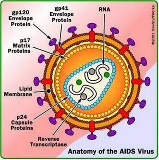 Anatomy of AIDS virus