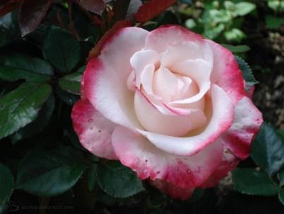 pink-weiße Rose
