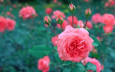 ROSE by Ndifreke George
