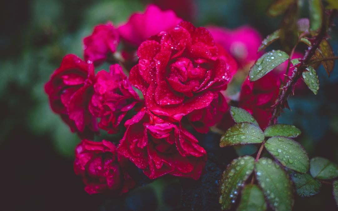 LEARNING THE LANGUAGE OF ROSES by Ugochukwu Damian