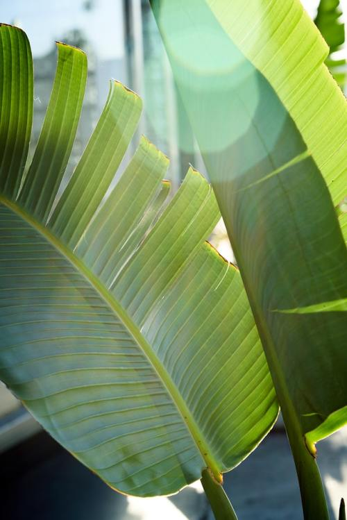 manfaat daun pisang 1