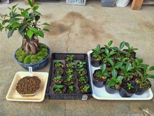 Cara membuat bonsai 2