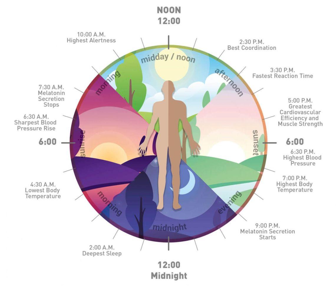 Jam biologis tubuh 1