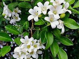 bunga-kemuning
