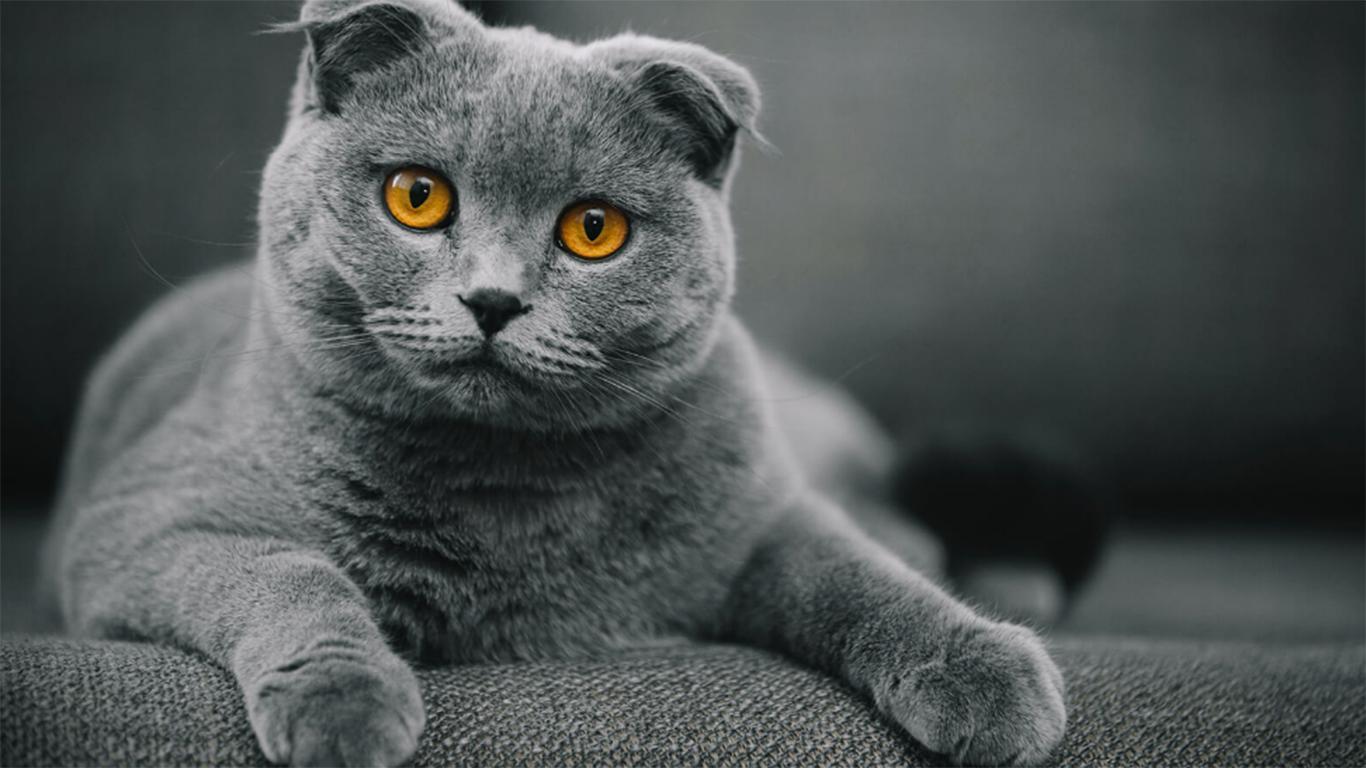 kucing-scottish-fold