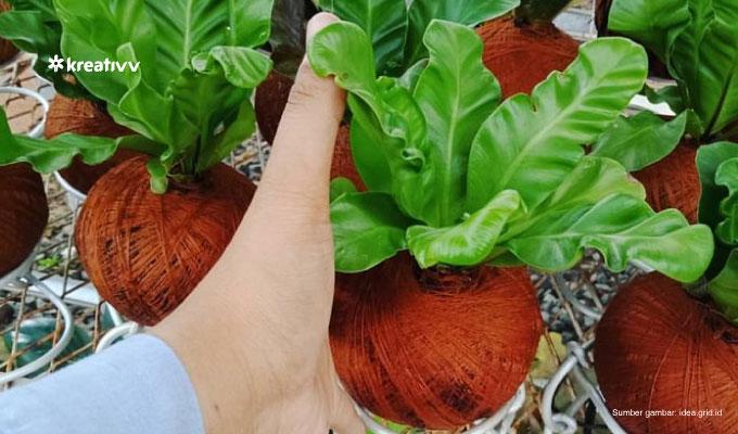 tanaman-kadaka