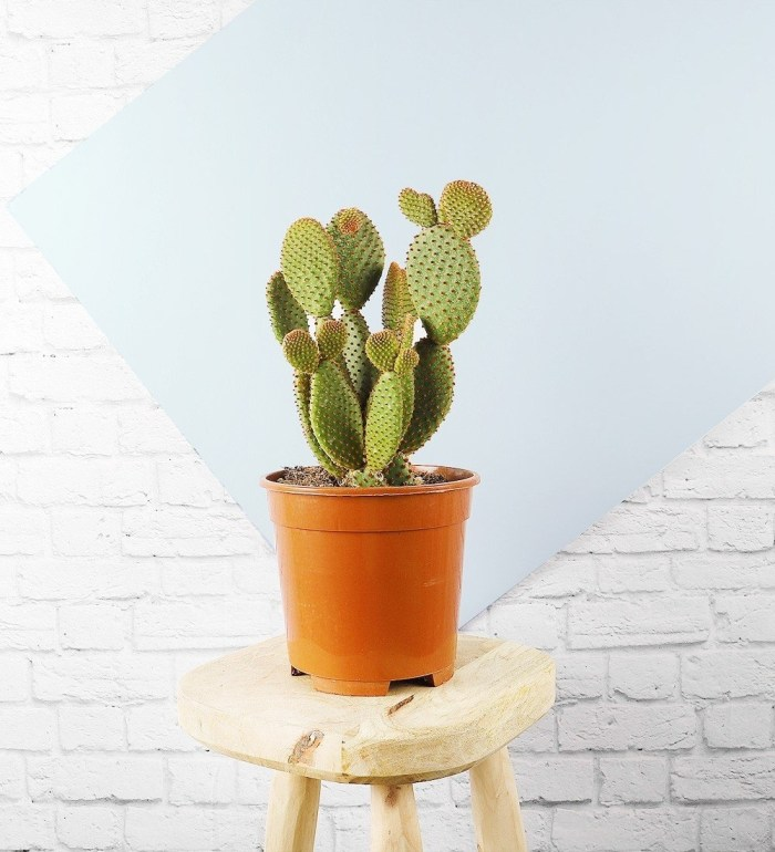 bunny-ear-cactus
