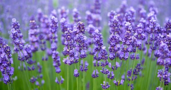 pohon-lavender