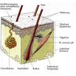 Haut Querschnitt