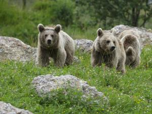 Bears in wildlife park Goldau
