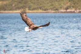 Adler! - Seeadler-Safari auf den Lofoten.