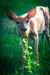 fawn and weeds-5