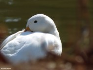 White Duck III