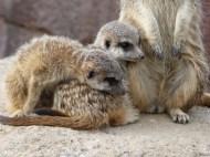 Little Meerkats