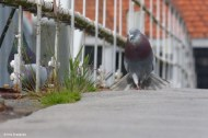 Flaunting Pigeon
