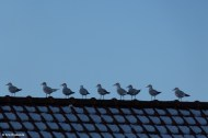 20150124_Seagulls on a Roof