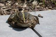 Frog Prince I