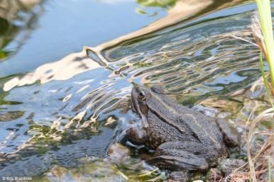 Frog Prince IV
