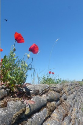 Poppies on Trench