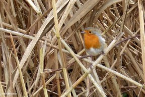 Robin in the Reed I