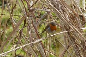Robin in the Reed II