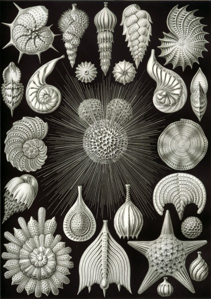 Thalamphora - Print by Ernst Haeckel, Art Forms of Nature, 1904