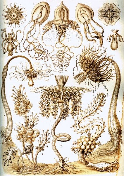 Tubulariae - Print by Ernst Haeckel, Art Forms of Nature, 1904